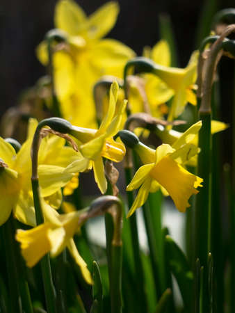 lake district: Wordsworths Lake District daffodils in full bloom in spring