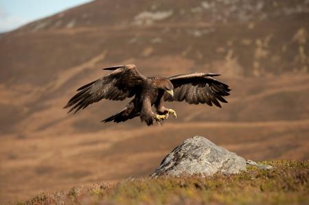aguila real: Golden Eagle en vuelo