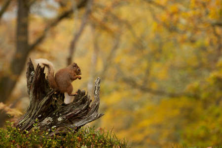 red squirrel: Red Squirrel sitting on tree trunk Stock Photo