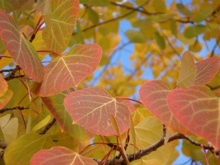 Colorado Aspen Leaves Stock Photo