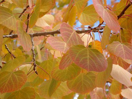 Aspen Leaves Galore Stock Photo