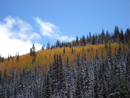 Blue Sky Aspen Trees