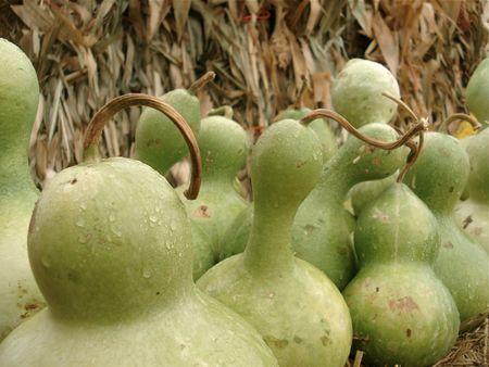 Green Gourds