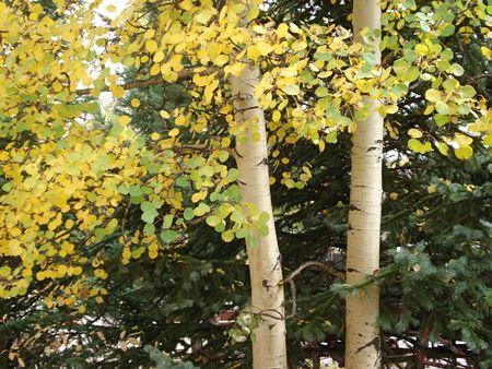 Two Aspen Trees