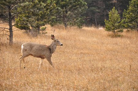 white tail deer: Lone White Tail Deer Stock Photo