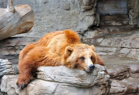 Lazy Grizzly Bear Stock Photo