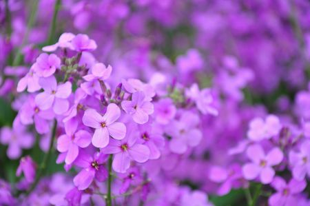 small purple flower: Purple Flowers