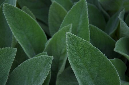 Fuzzy Green Leaves