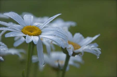 Dew on White Flowers