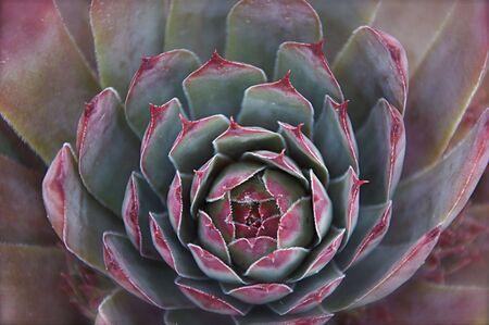 Succulent Bloom Background