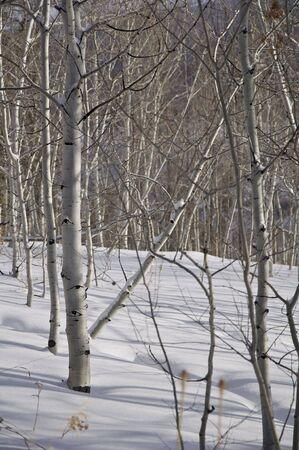 Winter - Morning Aspens