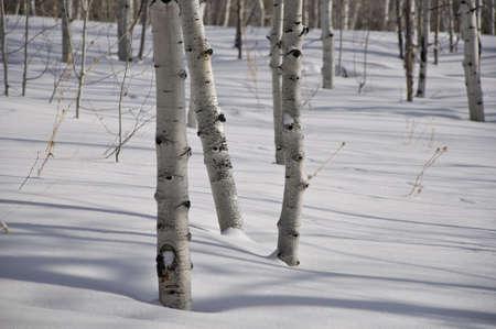 Winter - Colorado Aspen Trees