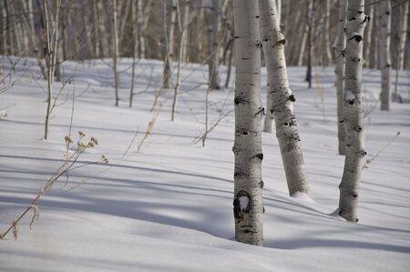 Winter - Aspens in the Snow Stock Photo