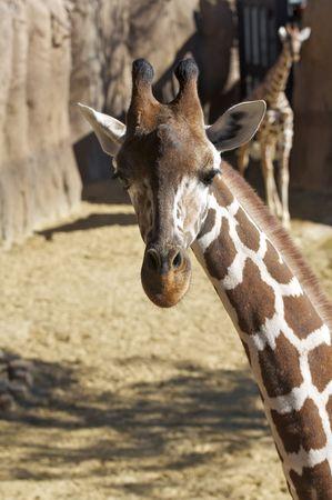 Giraffes at the Zoo Stock Photo