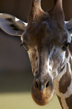 Giraffe Head Up Close Stock Photo