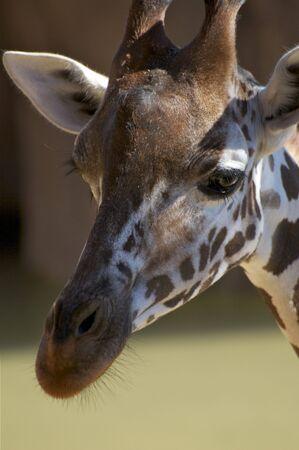 Large Giraffe Stock Photo