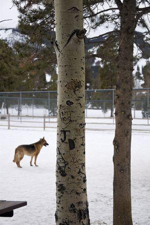 Winter - Aspens and Dog Stock Photo