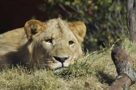 Lion Resting