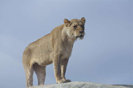 Mighty Lioness