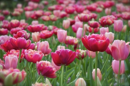 Spring - Red and Pink Tulips