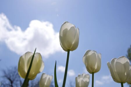 Spring - White Tulips and Blue Sky