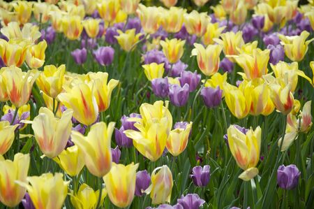 Field of Yellow and Purple Tulips