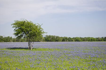 Bluebonnet Field photo