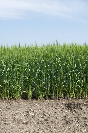 Wheat Field in Vertical Orientation Stock Photo