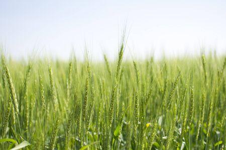 Spring Wheat Stock Photo