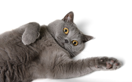 British shorthair cat photo