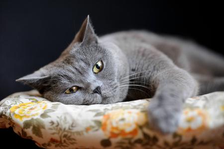 British shorthair cat sleeping