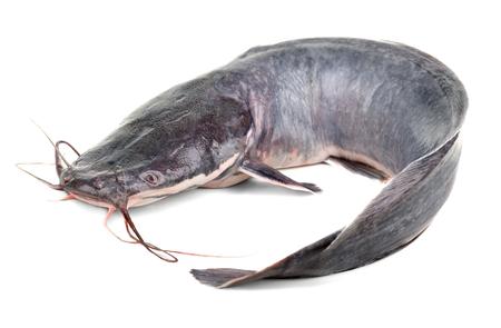 African catfish isolated on white backgound Stock Photo
