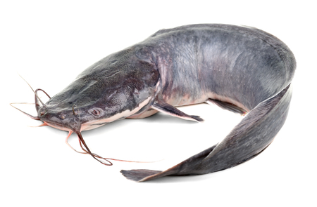 African catfish isolated on white backgound Standard-Bild