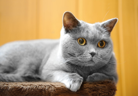 gray: British shorthair cat lying on scratching post. Stock Photo