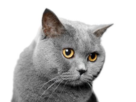 British shorthair cat portrait