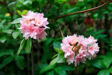 Rhododendron Homebush, Azalea Homebush. Pink flowering shrub.