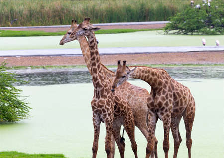 Group of three giraffes standing by a lake