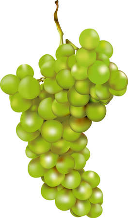 green bunch of grapes with a luminous shining after rich harvest in autumn Illustration