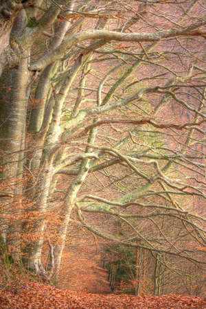 overhanging: A row of beech trees and a with rost-colored beech leafes overcasted way in the forest in the early spring time Stock Photo