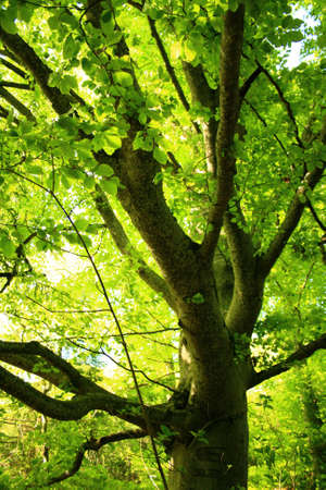 Luminous Beech Tree in Spring  photo