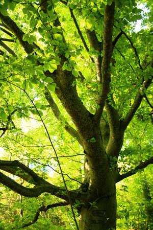 Luminous Beech Tree in Spring  photo