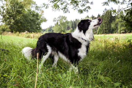 A portrait of a Border Collie in the green nature photo