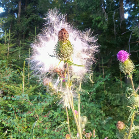 nen: Thistle umh populates with seeds in the green forest NEN