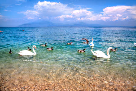 evident: Swans and Ants are swimming in the glassy water at the riverside of the Lake Garda. Snow-white clouds racking over the luminous blue sky