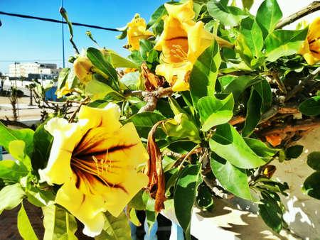 ornamental bush: Yellow trumpet-flower bush, ornamental plants of Morocco, yellow blossomed Stock Photo
