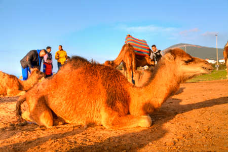 breastfeed: Arabian camel is laying in the sand of the desert of Morocco in Africa, in the background you can see the Atlantic Ocean Editorial