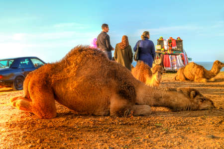 suckle: Arabian camel is laying in the sand of the desert of Morocco in Africa, in the background you can see the Atlantic Ocean Editorial