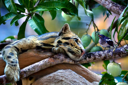 black feathered: An ocelot is hanging over a mango tree and views a little bird