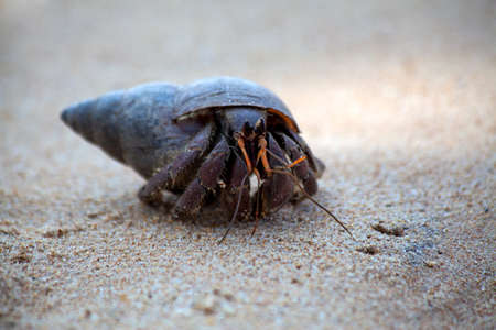 hermit crab: A hermit crab crawls in the sand of the beach