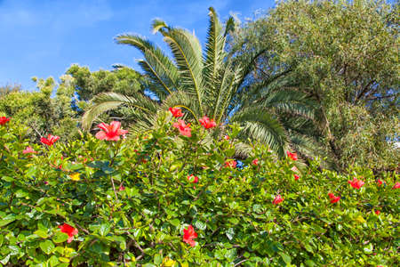 flowerpower: Big bush with shining red hibiscus blooms in Agadir in the Kingdom of Morocco